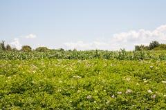Цветя картошки Стоковые Изображения