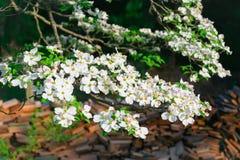 Цветя кизил стоковое изображение