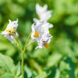 Цветя конец картошки вверх в саде Стоковая Фотография