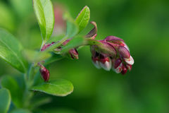 Цветя конец cowberry вверх Съемка макроса Стоковые Фотографии RF