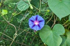 Цветя колокольчик колокольчика стены Стоковое Изображение RF
