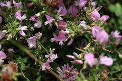 Цветя колючее restharrow (spinosa Onosis) Стоковые Фотографии RF