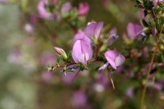 Цветя колючее restharrow (spinosa Onosis) Стоковые Изображения RF