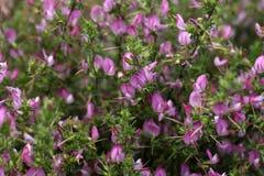 Цветя колючее restharrow (spinosa Onosis) Стоковые Фото