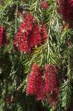 Цветя красное дерево bottlebrush стоковые фото