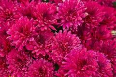 Цветя красные хризантемы сада, абстрактная предпосылка стоковые фото