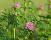 Цветя красный клевер стоковое фото