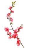 цветя красный цвет айвы Стоковое фото RF