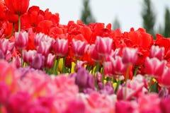 Цветя красочные тюльпаны Стоковые Фотографии RF