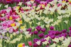 Цветя красочные тюльпаны Стоковые Изображения