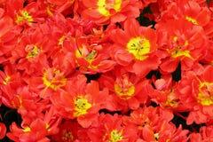 Цветя красочные тюльпаны Стоковое фото RF