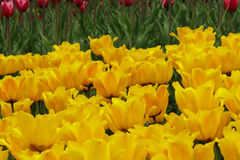 Цветя красочные тюльпаны Стоковая Фотография RF