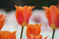 Цветя красочные тюльпаны Стоковое Изображение RF