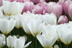Цветя красочные тюльпаны Стоковое Фото