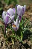 Цветки весны крокуса Стоковая Фотография RF
