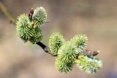 Цветя крупный план ветви вербы на весенний день Стоковые Фотографии RF
