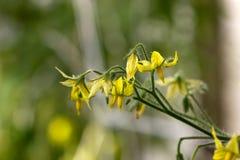 Цветя крупный план томата Стоковые Фотографии RF