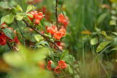 Цветя кустарник красного coccinea Ixora Стоковая Фотография RF
