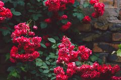 Цветя кусты красных роз сада на кирпичной стене Стоковые Изображения RF