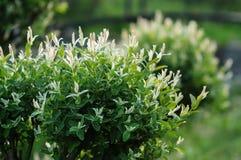 Цветя куст в декоративном саде весной Стоковые Изображения RF