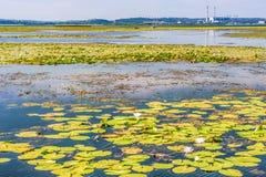 Цветя лилия Цвести лилии воды на реке Dnieper, Киев, Украина Стоковое Изображение RF