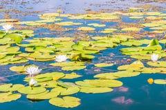 Цветя лилия Цвести лилии воды на реке Dnieper, Киев, Украина Стоковые Изображения