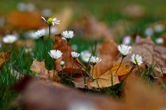 Цветя маргаритки в осени Стоковая Фотография RF