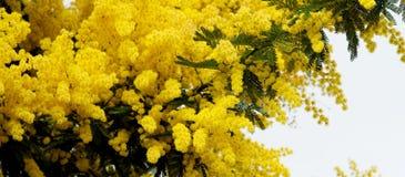 Цветя мимоза Стоковая Фотография
