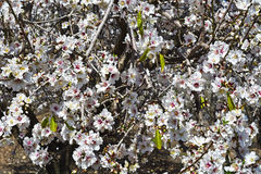 Цветя миндалина стоковое изображение rf
