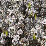 Цветя миндалина стоковые фотографии rf