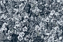 Цветя миндалина стоковые изображения