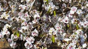 Цветя миндалина иллюстрация штока