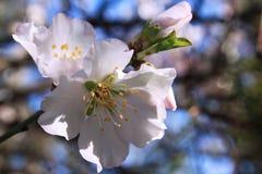 Цветя миндальное дерево Стоковое фото RF