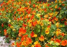Цветя настурция желт-апельсина Стоковые Фото