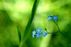 Цветя незабудка Стоковое фото RF