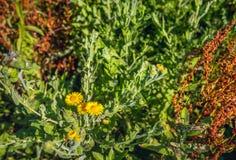 Цветя общий щавель и луг ложное Fleabane от конца Стоковая Фотография RF