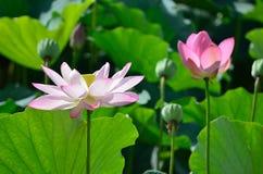 Цветя лотос, лето Киото Японии Стоковое фото RF