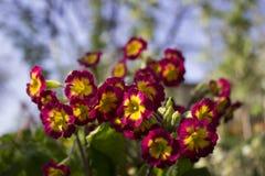 Цветя первоцвет куста бургундский желтый в саде в sprFlowering первоцвете куста бургундском желтом в саде в sprin стоковые изображения rf