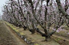 Цветя персиковые дерева Стоковая Фотография