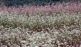 Цветя поле гречихи стоковое фото