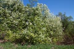 Цветя птиц-вишня Стоковое Изображение