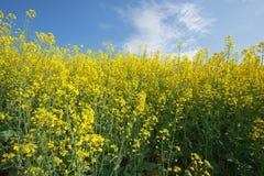 Цветя рапс семени масличной культуры Стоковое Изображение RF