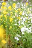 цветя рапс oilseed Стоковая Фотография
