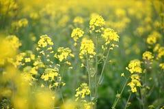 цветя рапс oilseed Стоковая Фотография RF