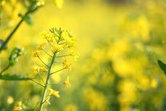 цветя рапс oilseed Стоковое фото RF