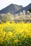 цветя рапс oilseed Стоковые Фото