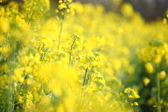 цветя рапс oilseed Стоковое Фото
