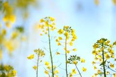 цветя рапс oilseed Стоковое Изображение RF