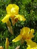 Цветя радужка Стоковое Изображение
