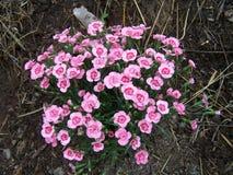 Цветя розовая гвоздика стоковое изображение